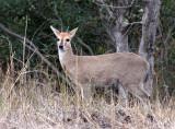 BOVID - DUIKER - COMMON OR GREY DUIKER - KRUGER NATIONAL PARK SOUTH AFRICA.JPG