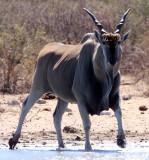 BOVID - ELAND - ETOSHA NATIONAL PARK NAMIBIA (22).JPG