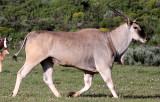 BOVID - ELAND - WEST COAST NATIONAL PARK SOUTH AFRICA (11).JPG