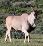 BOVID - ELAND - WEST COAST NATIONAL PARK SOUTH AFRICA (5).JPG