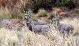 BOVID - GREY RHEBOK - MOUNTAIN ZEBRA  NATIONAL PARK SOUTH AFRICA (9).JPG