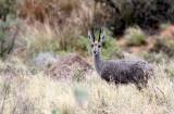 BOVID - GREY RHEBOK - MOUNTAIN ZEBRA  NATIONAL PARK SOUTH AFRICA.JPG