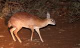 BOVID - GRYSBOK - SHARPE'S GRYSBOK - KRUGER NATIONAL PARK SOUTH AFRICA (7).JPG