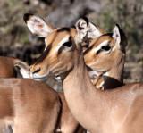 BOVID - IMPALA - BLACK-FACED IMPALA - ETOSHA NATIONAL PARK NAMIBIA (26).JPG
