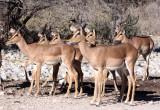 BOVID - IMPALA - BLACK-FACED IMPALA - ETOSHA NATIONAL PARK NAMIBIA (27).JPG