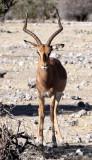BOVID - IMPALA - BLACK-FACED IMPALA - ETOSHA NATIONAL PARK NAMIBIA (8).JPG