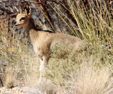 BOVID - KILPSPRINGER - AUGRABIES FALLS NP SOUTH AFRICA (6).JPG