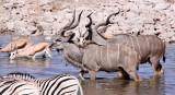 BOVID - KUDU - GREATER KUDU - ETOSHA NATIONAL PARK NAMIBIA (11).JPG