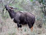 BOVID - NYALA - IMFOLOZI NATIONAL PARK SOUTH AFRICA (9).JPG