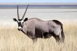 BOVID - ORYX - GEMSBOK - ETOSHA NATIONAL PARK NAMIBIA (15).JPG