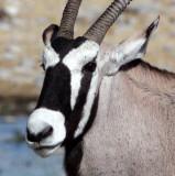 BOVID - ORYX - GEMSBOK - ETOSHA NATIONAL PARK NAMIBIA (36).JPG