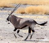 BOVID - ORYX - GEMSBOK - ETOSHA NATIONAL PARK NAMIBIA (49).JPG