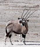 BOVID - ORYX - GEMSBOK - ETOSHA NATIONAL PARK NAMIBIA (54).JPG
