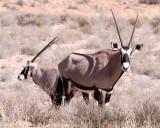 BOVID - ORYX - GEMSBOK - KGALAGADI NATIONAL PARK SOUTH AFRICA (12).JPG