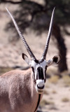BOVID - ORYX - GEMSBOK - KGALAGADI NATIONAL PARK SOUTH AFRICA (18).JPG
