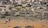 BOVID - ORYX - GEMSBOK - NAMAQUALAND - GOEGAP NATURE PRESERVE SOUTH AFRICA (6).JPG