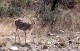 BOVID - REEDBUCK - MOUNTAIN REEDBUCK - KAROO SOUTH AFRICA (3).JPG