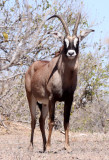 BOVID - ROAN ANTELOPE - CHOBE NATIONAL PARK BOTSWANA (3).JPG