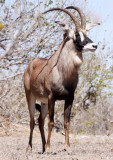 BOVID - ROAN ANTELOPE - CHOBE NATIONAL PARK BOTSWANA (9).JPG