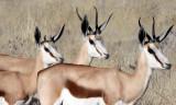 BOVID - SPRINGBOK - ETOSHA NATIONAL PARK NAMIBIA (31).JPG