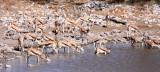 BOVID - SPRINGBOK - ETOSHA NATIONAL PARK NAMIBIA (44).JPG