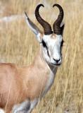 BOVID - SPRINGBOK - ETOSHA NATIONAL PARK NAMIBIA (46).JPG