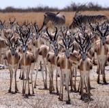 BOVID - SPRINGBOK - ETOSHA NATIONAL PARK NAMIBIA (49).JPG