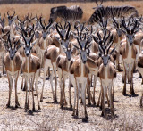 BOVID - SPRINGBOK - ETOSHA NATIONAL PARK NAMIBIA (50).JPG