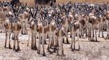 BOVID - SPRINGBOK - ETOSHA NATIONAL PARK NAMIBIA (52).JPG