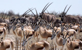 BOVID - SPRINGBOK - ETOSHA NATIONAL PARK NAMIBIA (54).JPG