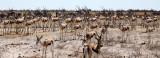 BOVID - SPRINGBOK - ETOSHA NATIONAL PARK NAMIBIA (62).JPG