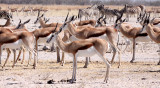 BOVID - SPRINGBOK - ETOSHA NATIONAL PARK NAMIBIA (63).JPG