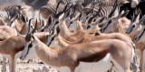 BOVID - SPRINGBOK - ETOSHA NATIONAL PARK NAMIBIA (65).JPG