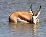 BOVID - SPRINGBOK - ETOSHA NATIONAL PARK NAMIBIA (82).JPG