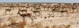 BOVID - SPRINGBOK - ETOSHA NATIONAL PARK NAMIBIA (85).JPG