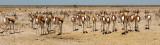 BOVID - SPRINGBOK - ETOSHA NATIONAL PARK NAMIBIA (86).JPG