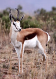 BOVID - SPRINGBOK - MOUNTAIN ZEBRA  NATIONAL PARK SOUTH AFRICA (2).JPG