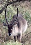 BOVID - WATERBUCK - COMMON WATERBUCK - SAINT LUCIA NATURE RESERVES SOUTH AFRICA (7).JPG