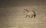 CANID - FOX - BAT-EARED FOX - KGALAGADI NATIONAL PARK SOUTH AFRICA (3).JPG