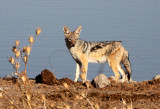 CANID - JACKAL - BLACK-BACKED JACKAL - ETOSHA NATIONAL PARK NAMIBIA (10).JPG