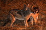 CANID - JACKAL - BLACK-BACKED JACKAL - ETOSHA NATIONAL PARK NAMIBIA (2).JPG
