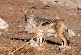 CANID - JACKAL - BLACK-BACKED JACKAL - ETOSHA NATIONAL PARK NAMIBIA (7).JPG