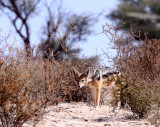 CANID - JACKAL - BLACK-BACKED JACKAL - KGALAGADI NATIONAL PARK SOUTH AFRICA (7).JPG