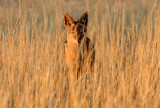 CANID - JACKAL - BLACK-BACKED JACKAL - KGALAGADI NATIONAL PARK SOUTH AFRICA.JPG