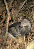 MUSTELID - MONGOOSE - SELOUS'S MONGOOSE - PARACYNICTIS SELOUSI - IMFOLOZI NATIONAL PARK SOUTH AFRICA (2).JPG