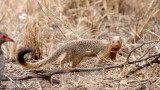 MUSTELID - MONGOOSE - SLENDER MONGOOSE - KRUGER NATIONAL PARK SOUTH AFRICA (10).JPG