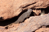 MUSTELID - MONGOOSE - SMALL GREY MONGOOSE - AUGRABIES FALLS SOUTH AFRICA (21).JPG