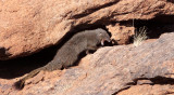 MUSTELID - MONGOOSE - SMALL GREY MONGOOSE - AUGRABIES FALLS SOUTH AFRICA (27).JPG