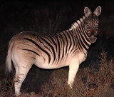 EQUID - QUAGGA - BURCHELL'S ZEBRA  - QUAGGA PROJECT - KAROO NATIONAL PARK SOUTH AFRICA (16).JPG