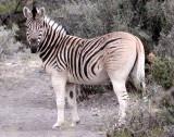 EQUID - QUAGGA - BURCHELL'S ZEBRA  - QUAGGA PROJECT - KAROO NATIONAL PARK SOUTH AFRICA (5).JPG